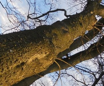 Storm Damage to an Ash Tree